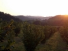 Sunrise over hazelnut trees at Tenuta Antica, Cessole