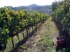 Grape harvest at Tenuta Antica, Cessole